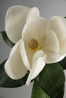 "Silk Magnolias Flowers Natural Touch 22"" White"