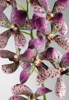 Silk Orchids Purple Speckled Vandas