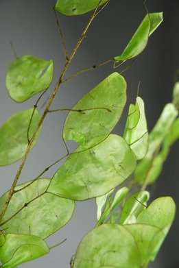 Silver Dollar Tree Branches Natural Green Lunaria (5 branches)