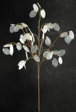 "Silver Dollars Lunaria 26"" Pearl White Artificial (12 stems)"