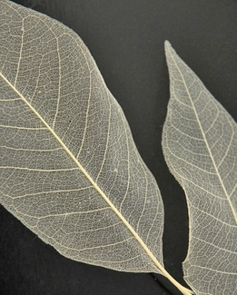 Skeleton Leaves Large 5-6in Magnolia Leaves (100 leaves)