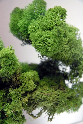 Softened Reindeer Moss