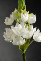 "Star of Bethlehem 31.5"" Stem Silk"