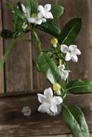 "Stephanotis Bridal Flowers 26"" tall"