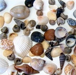 Tiny Shells Sea Shells 10-1/2 oz. pkg