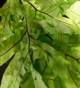 "Transparent Chartreuse Oak Leaves 29"" Branches Natural Preserved 1lb. Bundle (8-10 branches)"