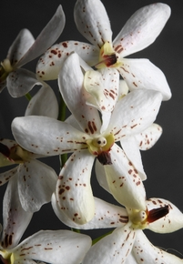 Vandas White Speckled Orchids Natural Touch