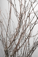 "Victorian Natural  Birch  Branches 48-50""  (7 branches)"