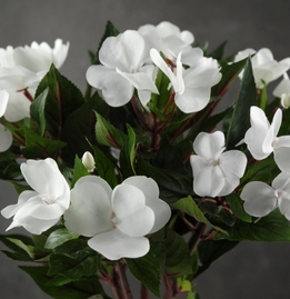 "White 14"" New Guinea Impatiens"