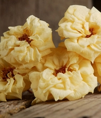 Yellow French Noisettes Preserved Roses (12 roses)