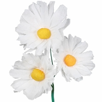 Mexican Paper Daisies - Set of 12