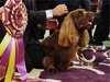 2008 Westminster Dog Show