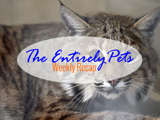 A Pet Bobcat Creates Problems, a Pizza Hut Promotion Backfires, and Exotic Pets Need Owners in Florida- All This & More in the EntirelyPets Weekly Recap (September 15-19, 2014)