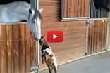 Baby Goat Tries To Play with a Horse and It's Super Adorable!