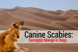 Canine Scabies: Sarcoptic Mange in Dogs