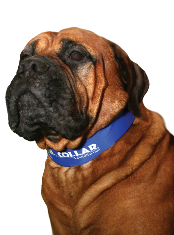 Kool Collar Electric Blue