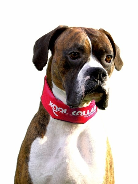 Kool Collar Stop Sign Red (Small)