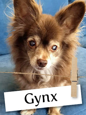 Meet Gynx, The Courageous Chihuahua!