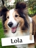 Meet Lola, The Sheltie Who Brings True Joy To Her Family
