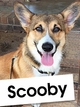 Meet Scooby, A Young Corgi Who Loves Cheering People Up