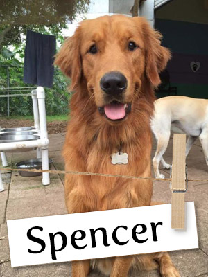 Meet Spencer: The Loving Golden Who Helped His Owner Find Happiness