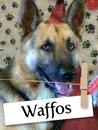 Meet Waffos: The Gentle And Loving German Shepherd!