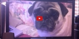 Things Get Weird in This Multifaceted Video About Pugs- Fascinating or Funny? You Decide!!