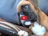 This Adorable Boxer Puppy Hears His Mom On Speakerphone & Has The Cutest Reaction!