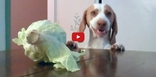 This Dog Desperately Wants Cabbage- And Watching Him Work for It Will Make Your Day!!