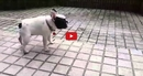 This Frenchie Playing in the Rain is the Most Adorable Thing You'll See All Day!!