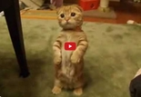 This Video of a Cat Standing is Inexplicably the Cutest Thing I've Ever Seen. Wow!
