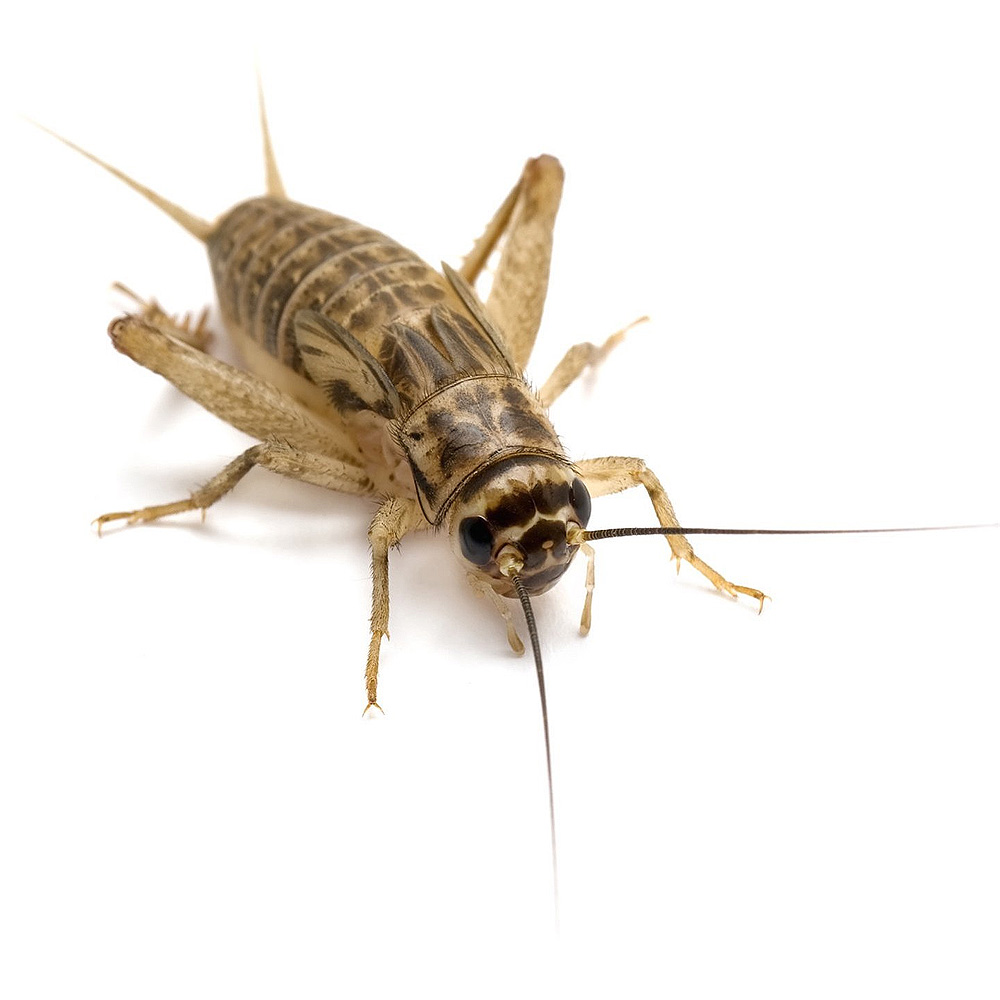 """Timberline Crickets 1/8"""" (1000 count)"""