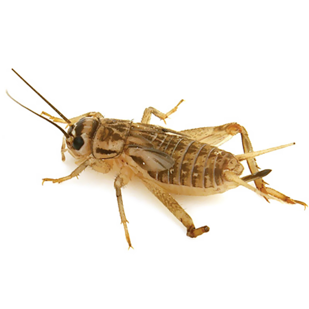 Timberline Crickets Prewings (1000 count)