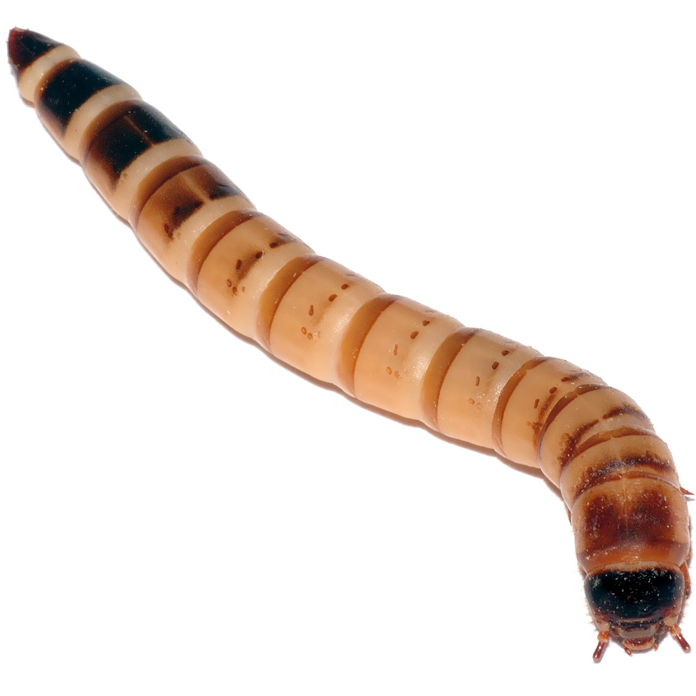 """Timberline Superworms - Small 1/2""""-1/4"""" (1000 count)"""
