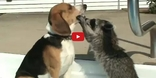 Start the Weekend Right with This Curious Interaction Between a Pet Raccoon and a Beagle!