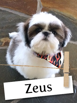 Zeus O'Leary Is One Shih Tzu You Must Get To Know!