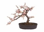 Cherry Blossom Bonsai Silk Tree - Nearly Natural - 4764