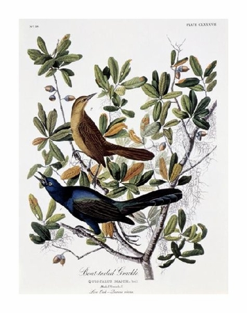 "John James Audubon Fine Art Open Edition Gicl�e:""Boat Tailed Grackle - Male and Female"""