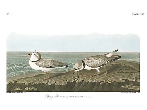 Examples List on Piping Plover