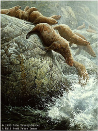 """John Seerey – Lester Limited Edition Print:""""The Plunge-Northern Sea Lions"""""""