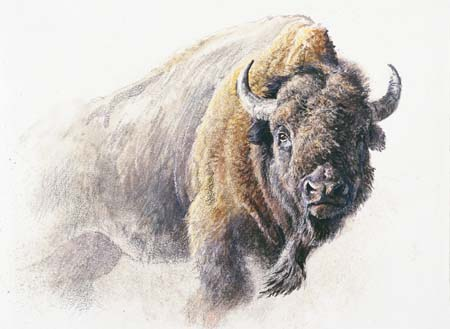 "Robert Bateman Handsigned & Numbered Limited Edition Print on Paper:""Bison Study"""