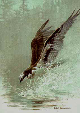 "Robert Bateman Limited Edition Paper Print:""Lunging Osprey"""