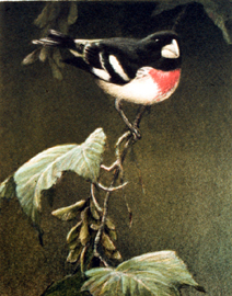 "Robert Bateman Limited Edition Paper Print:""Rose-Breasted Grosbeak"""