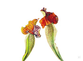 "Rosie Sanders Hand Numbered Limited Edition Print on Paper: ""Pitcher Plants I"""