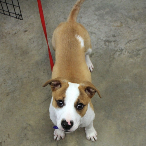 Alexis' Dog Buddy (Jack Russell Mix)