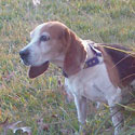 Beagle Hunting and Training Supplies