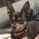 buy discount  Ben's Dog Zoe (Miniature Pinscher)