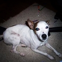 buy discount  Courtney's Dog Jack (Jack Russell Terrier)