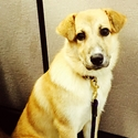 buy discount  Lauren's Dog Dakota (Great Pyrenees Mix)