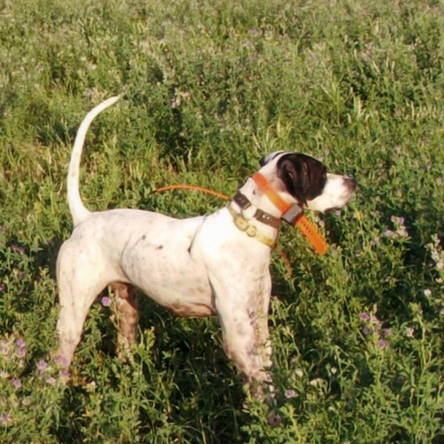 Merle (Pointer)